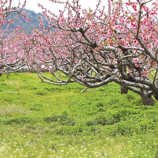 벚꽃나무사진
